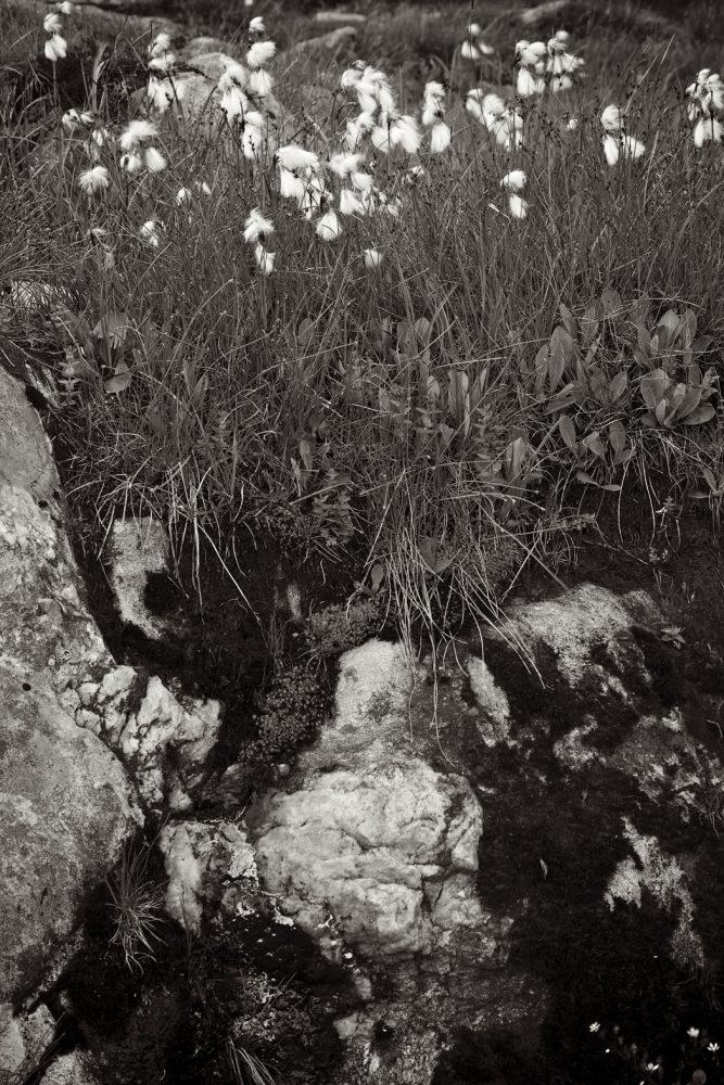 Cotton grass and Rock - Baumwoll Gras und Felsen